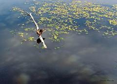 Parc Sauvagine / Nature park (Donald Plourde) Tags: parc sauvagine nature park sackville canard duck reflets reflections
