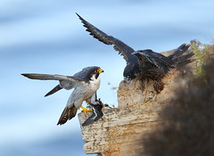The red necked phalarope that almost got away (charlescpan) Tags: peregrine falcon chick prey