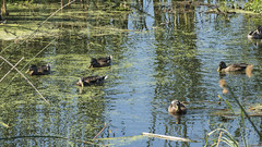 P1130262 (David J. Thomas) Tags: albany oregon talkingwatergardens waterreclamation watertreatment artificialwetland travel vacation family