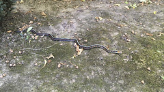 IMG_3377 (David J. Thomas) Tags: albany oregon farm family vacation travel snake