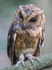 Wild owl on Sentosa, Singapore (Colourfusion.net) Tags: singapore sentosa island small owl nature explore look eyes tree close closup brown black matthiasgeffert