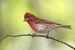 Purple Finch (Alan Gutsell) Tags: purplefinch purple finch haemorhouspurpureus michigan upper peninsula birds migration june statepark wildlife nature alan red canon camera wildlifephoto usa