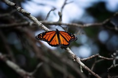 Glowing (-CCP-) Tags: butterfly monarch orange nature nikon