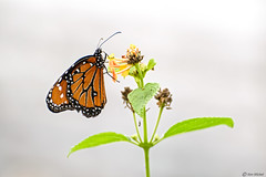 Shall I Fly Away (Ken Mickel) Tags: animals butterfly insects kenmickelphotography wildlife nature photography