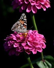 Pink on Black (KsCattails) Tags: butterfly flower kathrynkennedy kscattails paintedlady sarkopartrailspark zinnia blackbackground