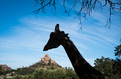 Stanley the Giraffe at Saddle Rock Ranch & Malibu Wine Safari - Malibu, California (ChrisGoldNY) Tags: chrisgoldphoto chrisgoldny chrisgoldberg bookcovers albumcovers licensing malibu malibuwinesafaris saddlerockranch california losangeles la socal cali westcoast america usa