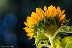Sunflower (josephzmuda2) Tags: plant botanical nature stilllife singleflower 50mm flora floral bokeh yellow northamerica pennsylvania pittsburgh summer day nopeople color closeup flower sunflower