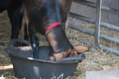Photo of Goat, Mary Arden's Farm, Wilmcote