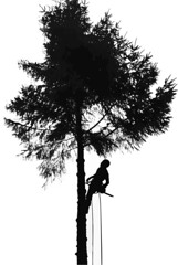 Solo Alder tree getting trimmed (Gillfoto) Tags: tree logger chainsaw solo