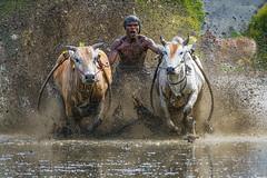 DSC_6221-1-copy (Chan Kien Ming) Tags: jockey pajujawi paju jawi tanahdatarregency westsumatra sumatra bull race mud track calf