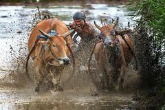 DSC_6123-1-copy (Chan Kien Ming) Tags: jockey pajujawi paju jawi tanahdatarregency westsumatra sumatra bull race mud track calf