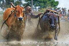 DSC_5593-1-copy (Chan Kien Ming) Tags: jockey pajujawi paju jawi tanahdatarregency westsumatra sumatra bull race mud track calf