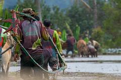 190817-DSC_5931-1-copy (Chan Kien Ming) Tags: jockey pajujawi paju jawi tanahdatarregency westsumatra sumatra bull race mud track calf