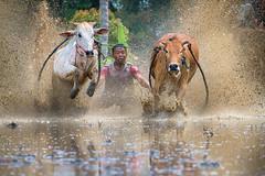 190817-DSC_5666-1-copy-2 (Chan Kien Ming) Tags: jockey pajujawi paju jawi tanahdatarregency westsumatra sumatra bull race mud track calf