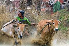 190817-DSC_5634-1-copy (Chan Kien Ming) Tags: jockey pajujawi paju jawi tanahdatarregency westsumatra sumatra bull race mud track calf