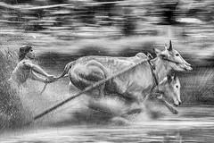 DSC_6050-2BW (Chan Kien Ming) Tags: paju jawi pajujawi bull race westsumatra tanahdatarregency jockey calf
