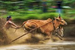 DSC_6050-2-color (Chan Kien Ming) Tags: jockey pajujawi paju jawi tanahdatarregency westsumatra sumatra bull race mud track calf