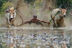 DSC_5575-1-copy (Chan Kien Ming) Tags: jockey pajujawi paju jawi tanahdatarregency westsumatra sumatra bull race mud track calf
