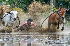 DSC_5536-1-copy (Chan Kien Ming) Tags: jockey pajujawi paju jawi tanahdatarregency westsumatra sumatra bull race mud track calf