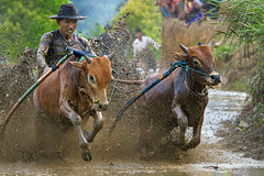 190817-DSC_6171-1-copy-2 (Chan Kien Ming) Tags: jockey pajujawi paju jawi tanahdatarregency westsumatra sumatra bull race mud track calf