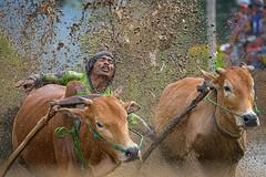 190817-DSC_5973-1-copy-2 (Chan Kien Ming) Tags: jockey pajujawi paju jawi tanahdatarregency westsumatra sumatra bull race mud track calf