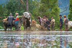 190817-DSC_5727-1-copy-2 (Chan Kien Ming) Tags: pajujawi paju jawi tanahdatarregency westsumatra sumatra bull race jockey mud track calf
