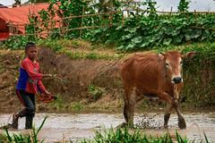 190817-DSC_5502-2-copy (Chan Kien Ming) Tags: jockey pajujawi paju jawi tanahdatarregency westsumatra sumatra bull race mud track calf