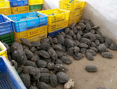 Wholesale Turtle Market (cowyeow) Tags: asia china chinese chinesefood turtle turtles food guangzhou cruel meat herp herps herpetology reptile reptiles wrong guangdong market streetmarket asian sad endangered trafficking canton sliders