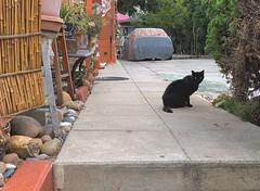 The Cats of University Heights: Sable (Joe Wilcox) Tags: iphonexs catsofuniversityheights cats animals sandiego