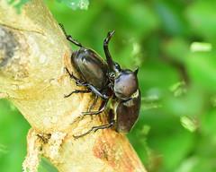kabuto (Hi ro ki) Tags: カブトムシ 虫 むし ムシ 兜 夏 夏休み 千葉 田舎 300mm 望遠 ♂ ♀ 昆虫 甲虫 日本 japan beetle chiba nikon insect d810 rhinoceros summer nature