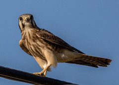 0P6A7637-2 American Kesterl (edhendricks27) Tags: hawk kesterl wildlife animal nature canon