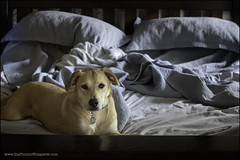 33-52: a larger version of the photo (Dave (www.thePhotonWhisperer.com)) Tags: 52weeksfordogs dog rescuedog bed lounge comfortable