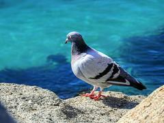 A Pig-Eon (elphweb) Tags: hdr highdynamicrange nsw australia pigeon bird avian birds