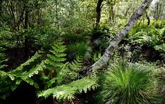 Verts sans modération (Ciceruacchio) Tags: green vert verde fougères ferns felci sousbois sottobosco undergrowth nature natura aquitaine france francia frankreich nikond750