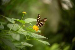Zebra Butterfly (Dannis van der Heiden) Tags: zebrabutterfly butterfly flower leaves foliage bokeh lensbaby twist60 detail shallowdeptoffield nikond750 d750 wings macro dof animal nature pollen naturallight manualfocus
