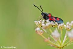 2014.05.24 - 0026 - Zygène du trèfle Séné © (chmeyer51) Tags: insecte papillon zygènedutrèfle lépidoptère zygaenidae zygaeninae zygaenatrifolii