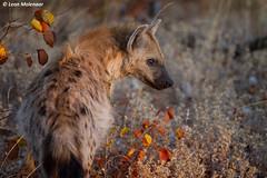 Spotted Hyena, juvenile (leendert3) Tags: leonmolenaar southafrica krugernationalpark wildlife naturereserve wilderness nature wildanimal mammal spottedhyena ngc npc naturethroughthelens