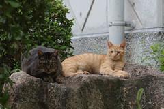 Brown Tabby & Red Tabby Cats (Flexible Negativity) Tags: 猫 cat 貓 meow ねこ caturday nuko marmaladetabby pentax orangetabby k70 gingercat redtabby browntabby