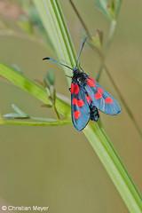 2014.05.24 - 0009 - Zygène du trèfle Séné © (chmeyer51) Tags: insecte papillon zygènedutrèfle lépidoptère zygaenidae zygaeninae zygaenatrifolii