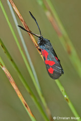 2014.05.24 - 0007 - Zygène du trèfle Séné © (chmeyer51) Tags: insecte papillon zygènedutrèfle lépidoptère zygaenidae zygaeninae zygaenatrifolii