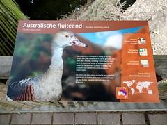 alphenaandenrijn_132 (OurTravelPics.com) Tags: alphen aan den rijn explanation plumed whistling duck australia meadow vogelpark avifauna zoo