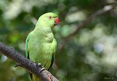 Rose-ringed Parakeet ( Female) (Eleanor (New account))) Tags: bird roseringedparakeet bokeh kensingtongardens london england nikond7100 august2019