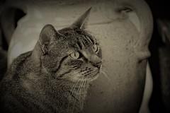 Lucy (samgi2) Tags: cats haustier tier indoor pets cat kitty kitten pet animal cute gato feline canon nrw germany katzen katze black welpen baby natur tabby kuschelig beautiful sony sw
