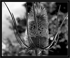 Szczeć pospolita. (andrzejskałuba) Tags: poland polska pieszyce dolnyśląsk silesia sudety europe plant plants roślina rośliny macro natura nature natural natureshot natureworld nikoncoolpixb500 beautiful biały black beauty czarny ogród garden monochrome bw blackwhite white szczećpospolita commontwig kwiat kwiaty flower flora floral flowers niebo sky day outdoor drzewa trees 100v10f 1000v40f