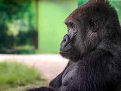 Sitting and Watching (helenehoffman) Tags: africa wildlife gorilla primate nature mammal sandiegozoo greatape conservationstatuscriticallyengangered maka ape gorillagorillagorilla animal silverback