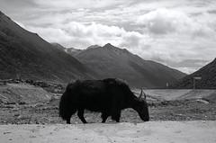 1445 (The Dent.) Tags: fujigwproii kodak tmax tmaxdev 14 6mins china tibet kham mediumformat filmphotography