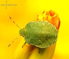 Green Shield Bug (John Chorley) Tags: garden green shieldbug greenshieldbug nature johnchorley 2019 yellow macro macros macrophotography wildlife