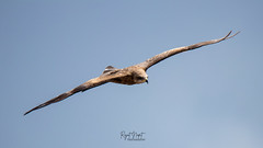 Black Kite In Action (Rajat Napit - Nature And Wildlife) Tags: eagle birdphotography birdsofnepal bird blackkite predator kathmandu kite wildlife wildlifenepal wildlifephotography wings flying aves aviary nature canon80d sigma150600sports