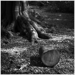_DSC2572-Enhanced (alexcarnes) Tags: tree woods woodland alex carnes alexcarnes nikon d850 sigma 50mm f14 art