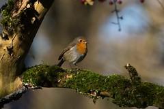 Robin F00800 RSPB Silverdale D210bob D610 DSC_6557 (D210bob) Tags: robin f00800 rspbsilverdale d210bob dsc6557 nikond610 birdphotography birdphotos naturephotography naturephotos nikon wildlifephotography lancashire rspb leightonmoss